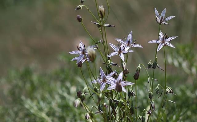 Marsh Felwort Flowers