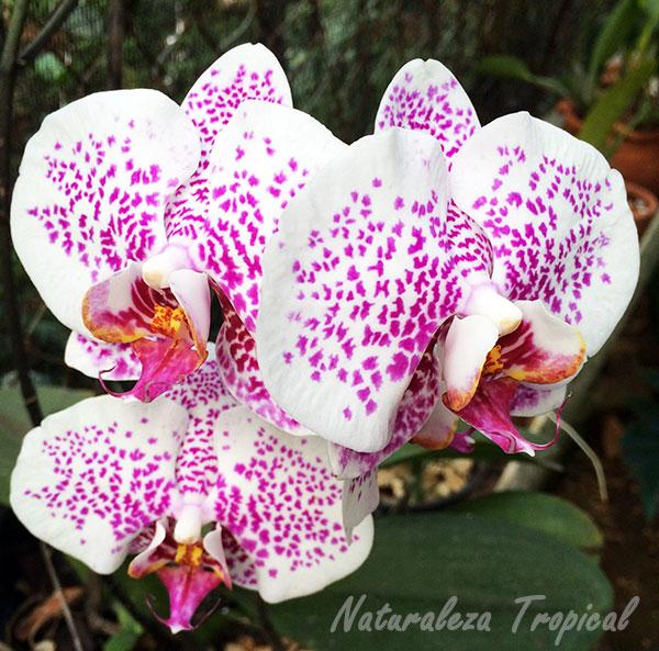 Flores de una especie del género Phalaenopsis, Orquídeas Mariposas