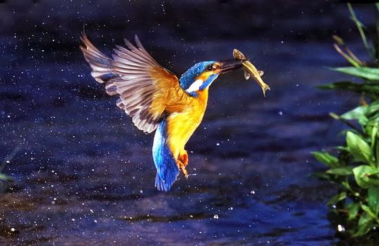 Martin pescador,El fulgor azul