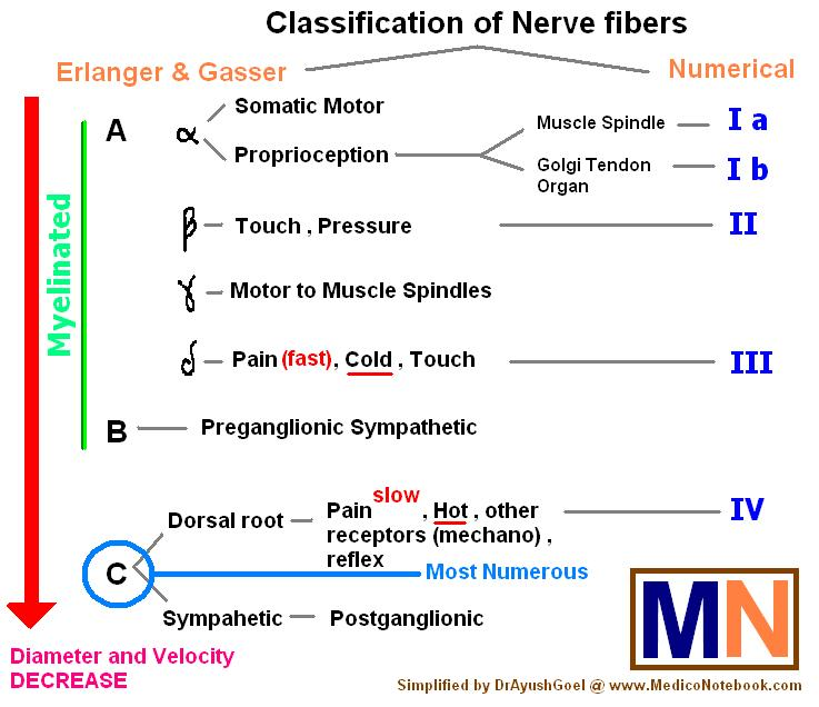 how does myelination affect nerve conduction velocity Nerve conduction velocity is an important aspect of nerve conduction studiesit is the speed at which an electrochemical impulse propagates down a neural pathwayconduction velocities are affected by a wide array of factors, including age, sex, and various medical conditions.