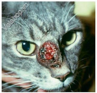Hình 6: Mèo bị bệnh nấm blatomyces có tổn thương tương tự như chó