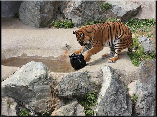 harimau dan singa gigit celana jeans | http://www.liataja.com