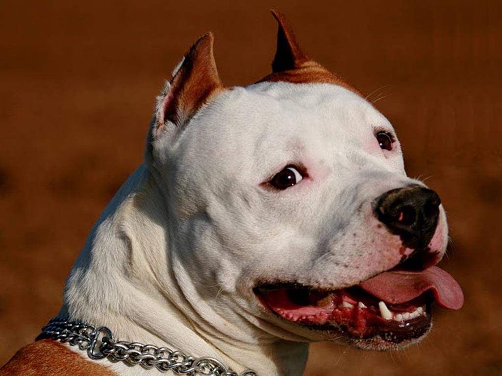 9 Amazing American Staffordshire Terrier Wallpapers
