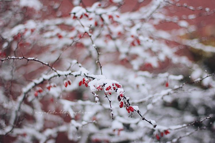 berberys, zimowe wyzwanie fotograficzne, anjafotografia, bokeh