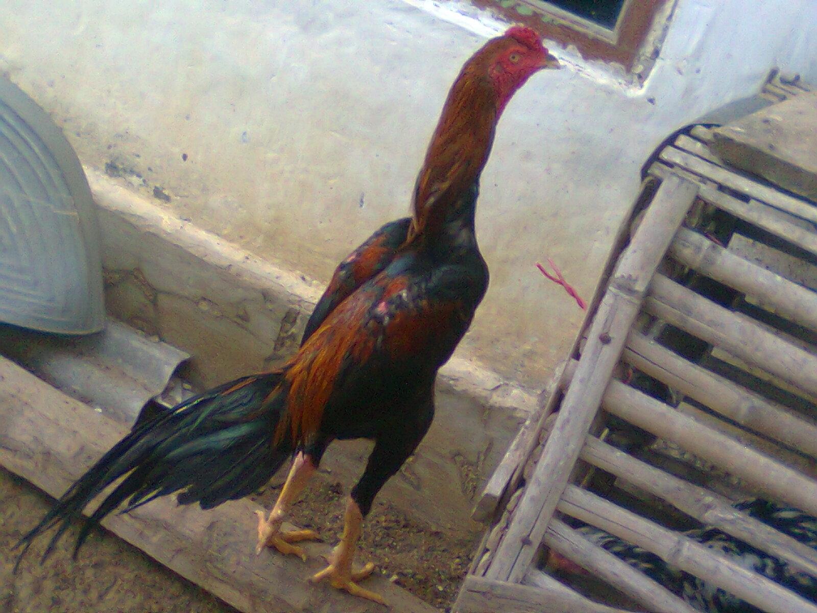 Ayam Laga Peternakan Dan Bisnis Serama Kate Ketawa Merpati