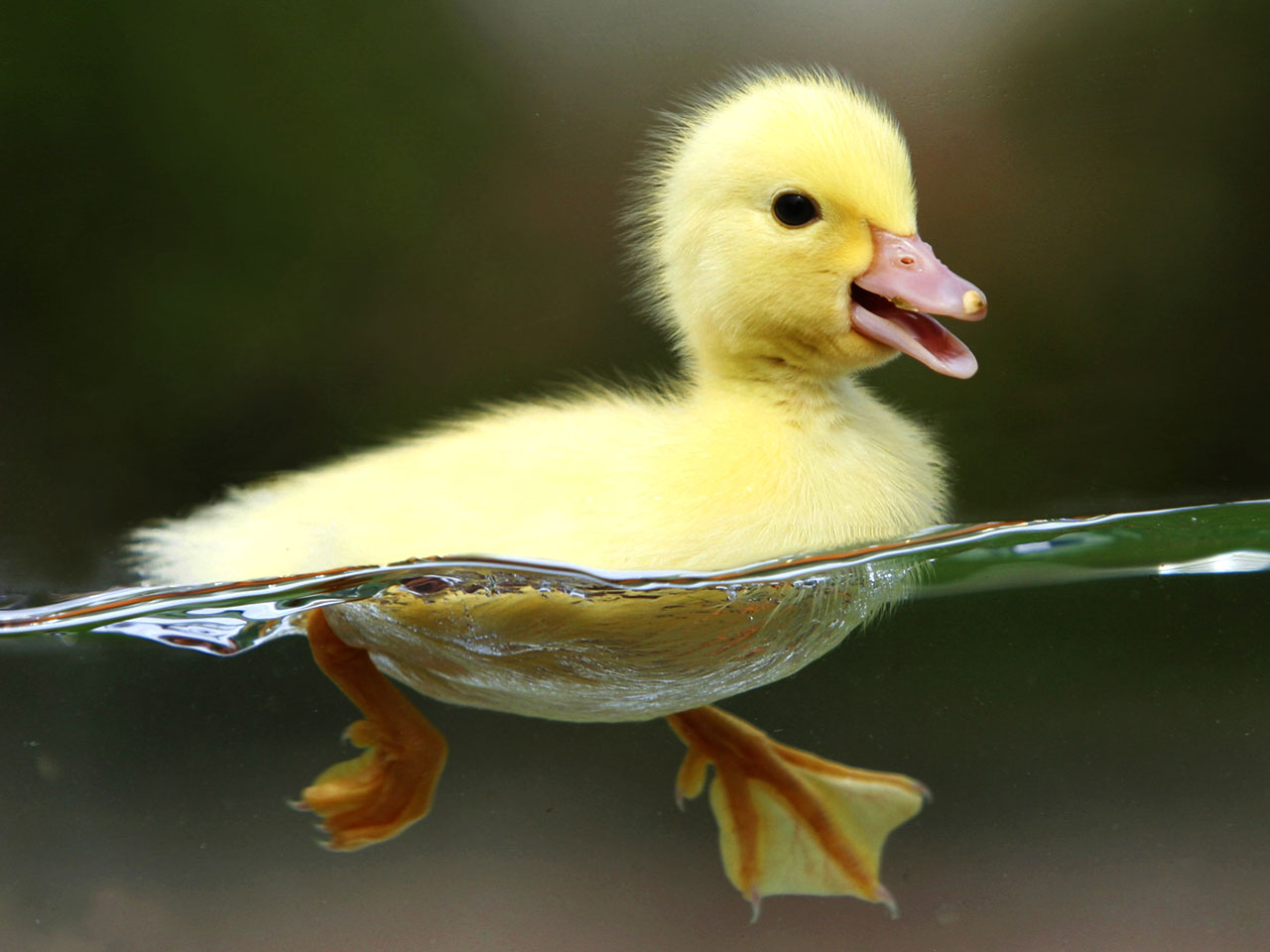 http://3.bp.blogspot.com/--RSpXhFWtuM/UAwCEhhUlyI/AAAAAAAAFbk/-A5g-CYB-K4/s1600/Duck-HD-Wallpaper.jpg