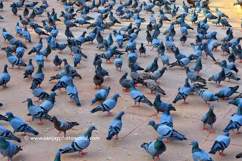 Pigeons group