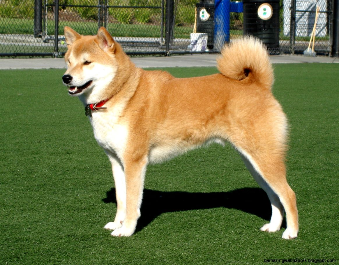 17 Shiba Inu HD Wallpapers  Backgrounds   Wallpaper Abyss