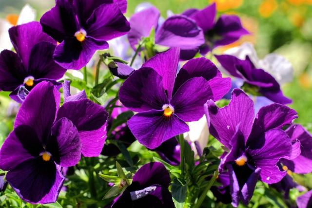 names of dark purple flowers  magiel, Beautiful flower