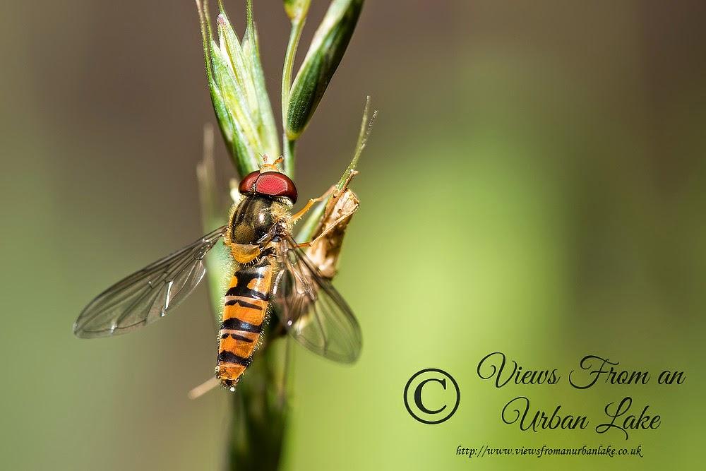 Marmalade Hoverfly - Great Holm, Milton Keynes