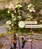VIOLETA DE AGUA - Water violet - Hotonia palustris