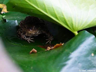 broasca frog Froschlurche Anura Βάτραχος
