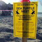 Number Of Green Sea Turtle Nests Hits Record High In Florida