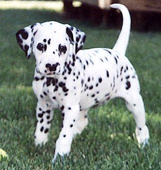 Dalmatian Puppies Pictures Collections