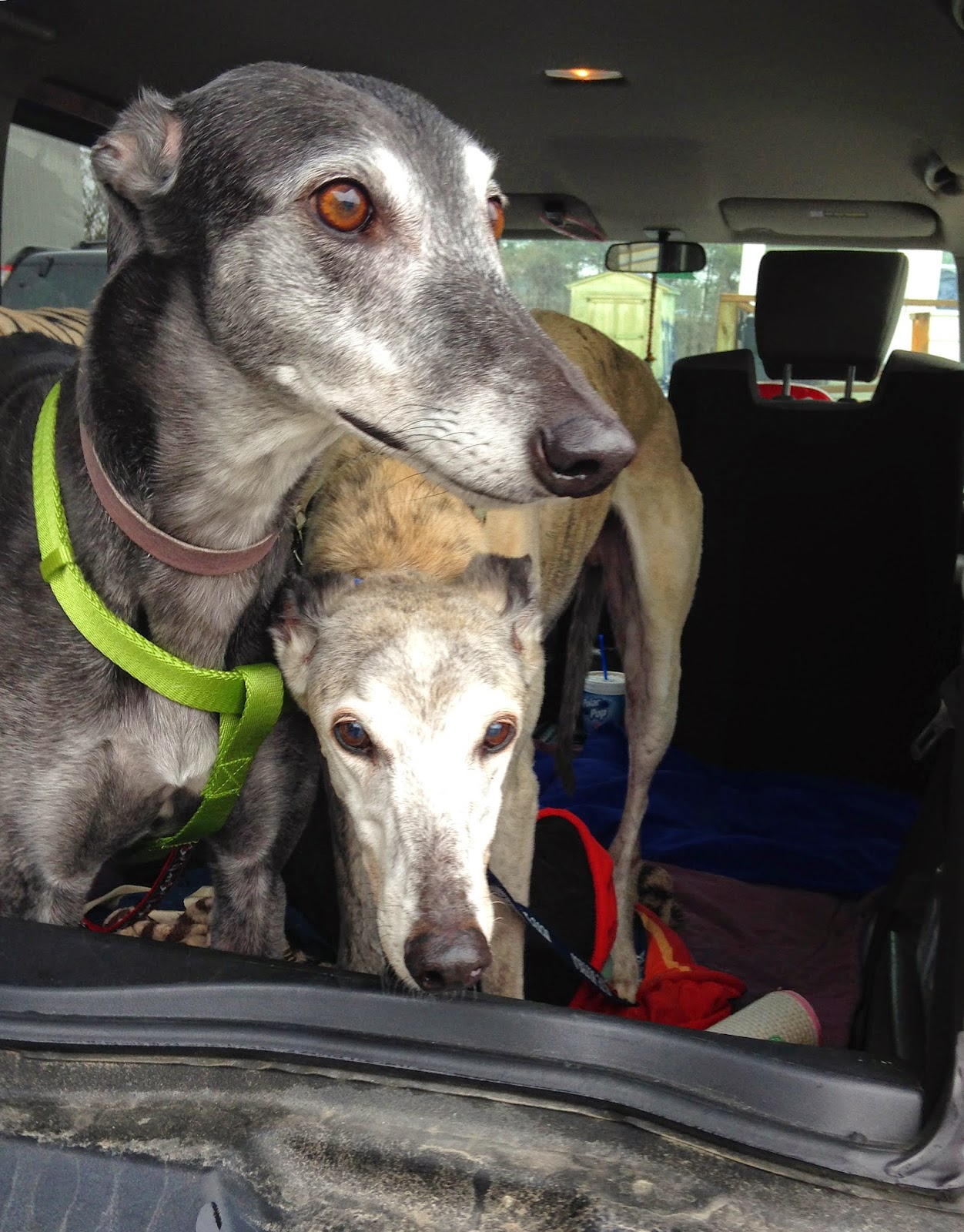 Bettina and Winslow greyhound