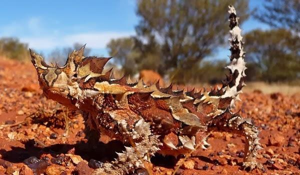Moloch horridus, diablillo espinoso australiano