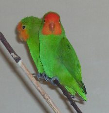 Harga Lovebird Muka Merah