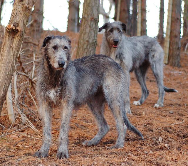 Big Kakashis Dog