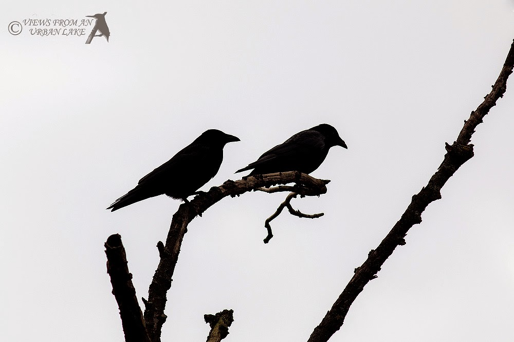 Carrion Crows in Silhouette - Manor Farm, Milton Keynes