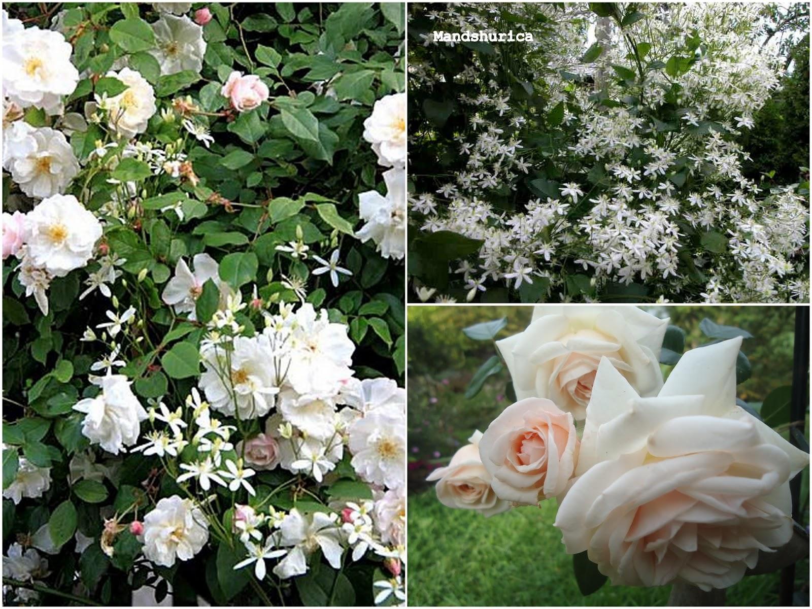 Je suis au jardin nouveaux rosiers nouveau projet - Deplacer un rosier ...