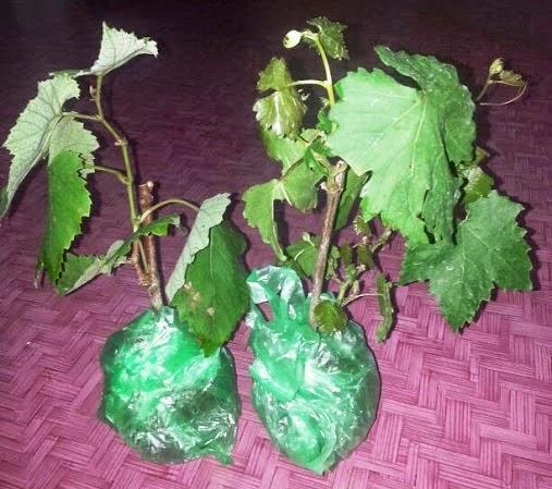 Jom tanam pokok Anggur..