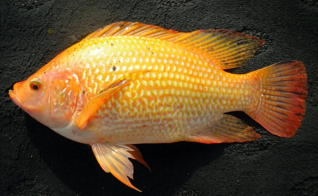 Protein Ikan Nila Percepat Penyembuhan Luka di Kulit