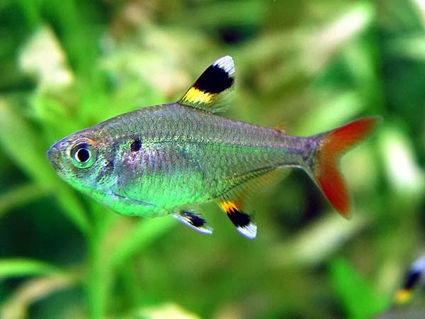 X ray tetra the animals biography for Types of small fish