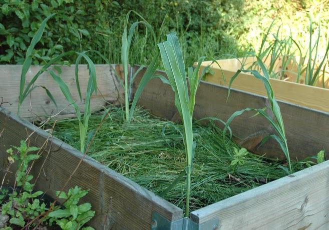 Sockermajs i en pallkrage vars jord är täckt av gräsklipp.