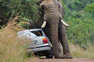 http://3.bp.blogspot.com/--V7_jIDOj4Y/UUfe-FRs2DI/AAAAAAAALbE/f16JwK7KfdU/s1600/elephant-confused-sex-with-car.jpg