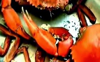 usaha penggemukan kepiting