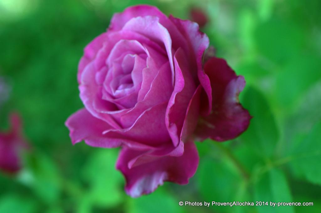 mes roses Blue Parfum