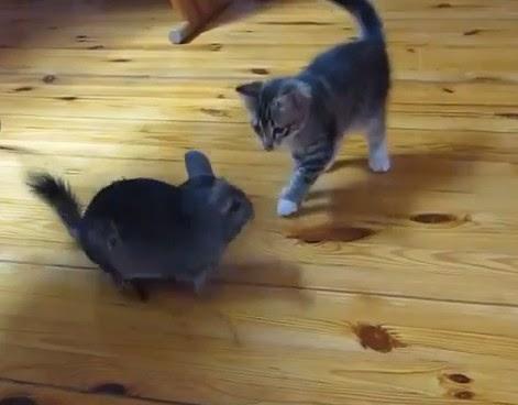 котенок и шиншилла
