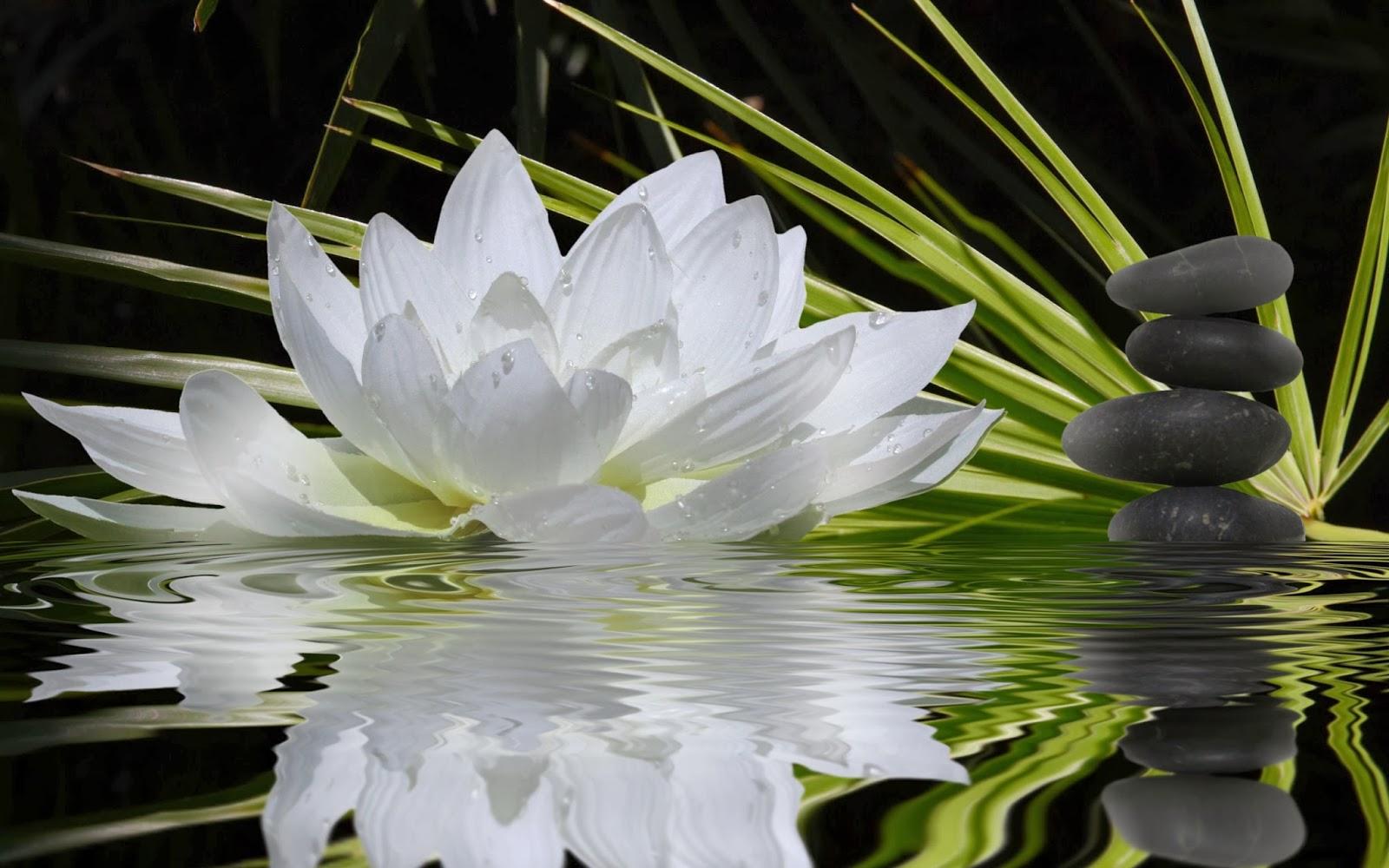 Flores de Loto Blancas y Lirios de Agua Blancos