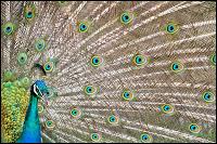 Peacock africa, kayaking bird colors colorful whereisbaer.com Chris Baer