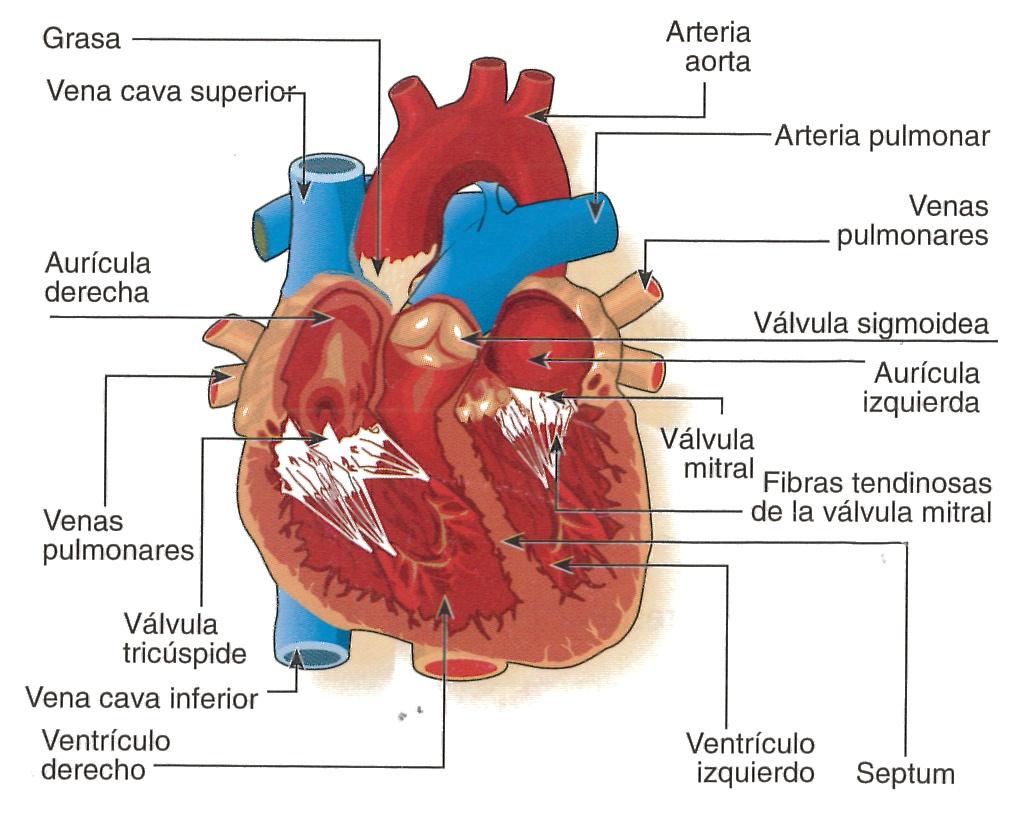 Blog del tema 6 de Saray Acevedo Perez: Artc 16. Anatomia del corazón
