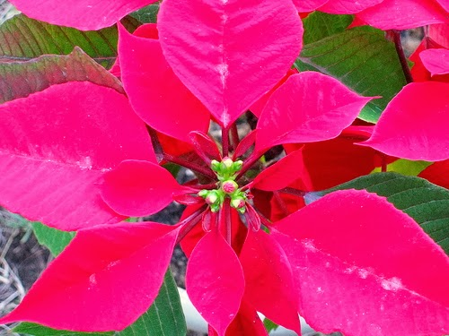 How To Care For Poinsettias Phillip 39 S Natural World 1 0 3