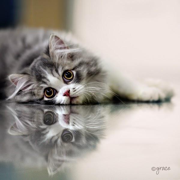 150 Gambar Kucing Lucu Dan Imut Anggora Persia Maine