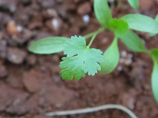 First leaf visible on cilantro