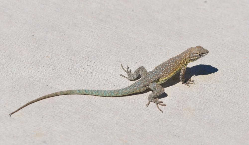 Common Side-blotched Lizard, Uta stansburiana, male_1111