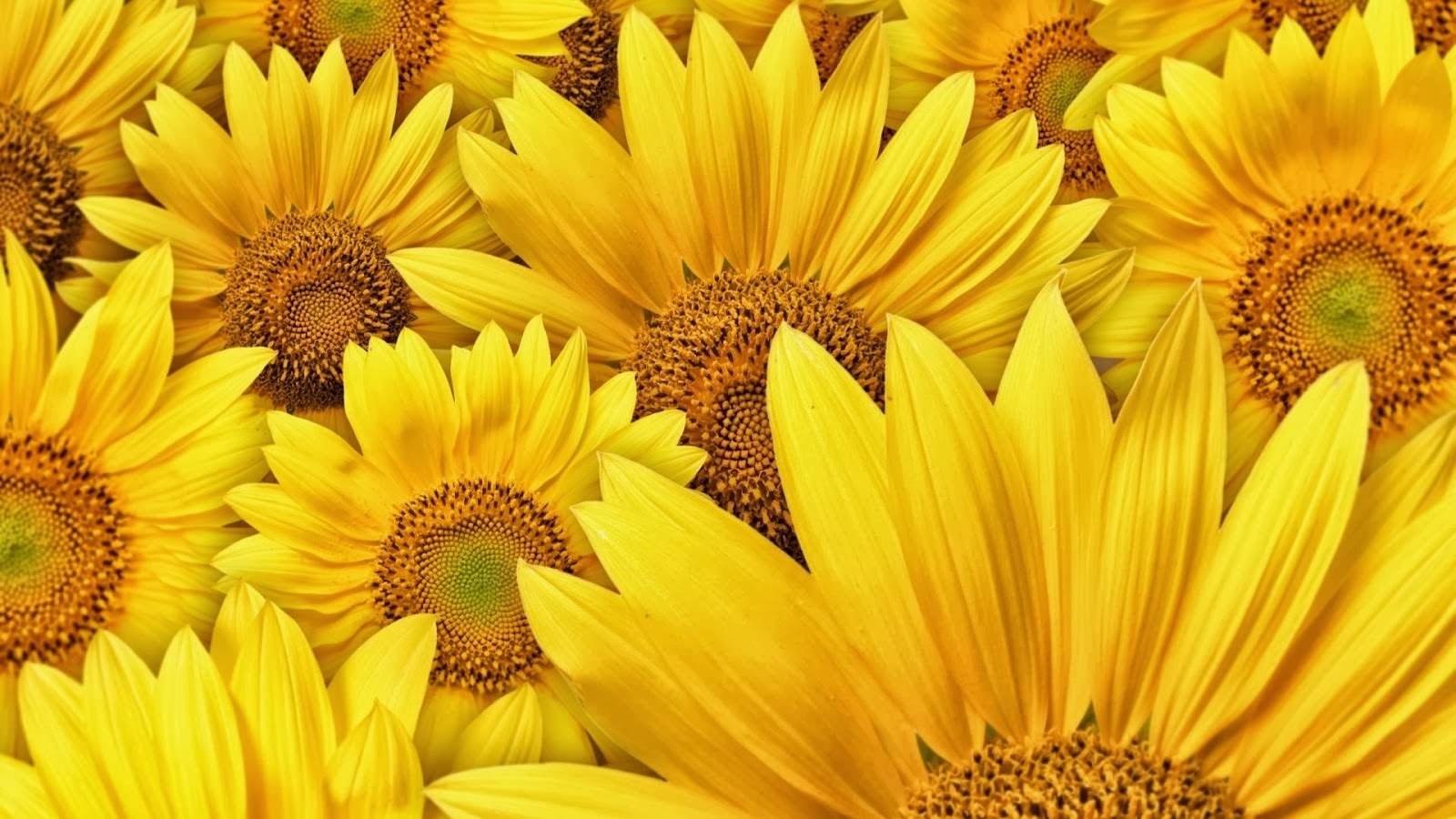 All Hot Informations: Download Yellow Sunflower HD ...