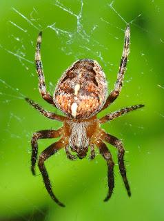 foto gambar laba-laba di sarangnya