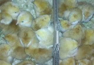 Red Ranger chicks, raising Red Rangers, Hoover's Hatchery, ordering chicks through the mail, mail order chicks, backyard chickens,