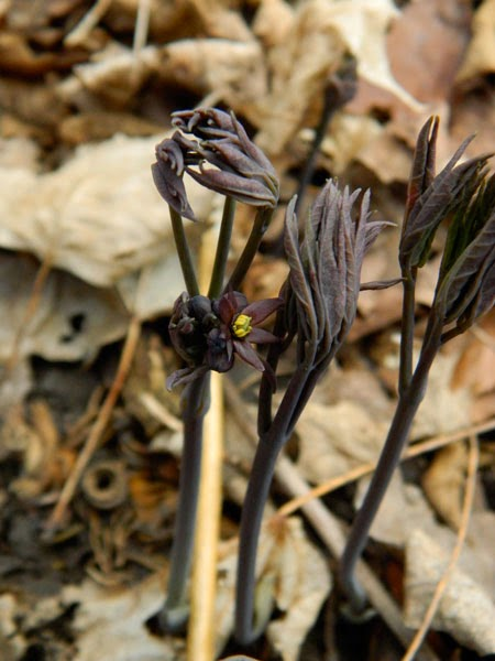 Northern Blue Cohosh (Caulophyllum giganteum) in flower