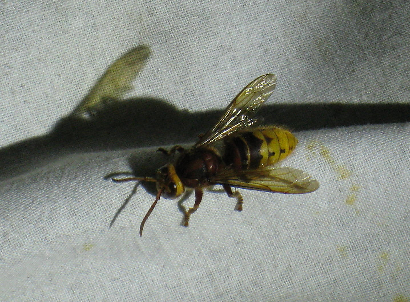 Queen Hornet Insect Is a young queen hornet Queen Hornet Insect