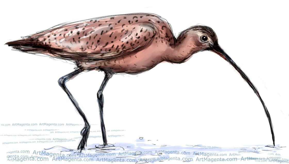 Long-billed Curlew sketch painting. Bird art drawing by illustrator Artmagenta