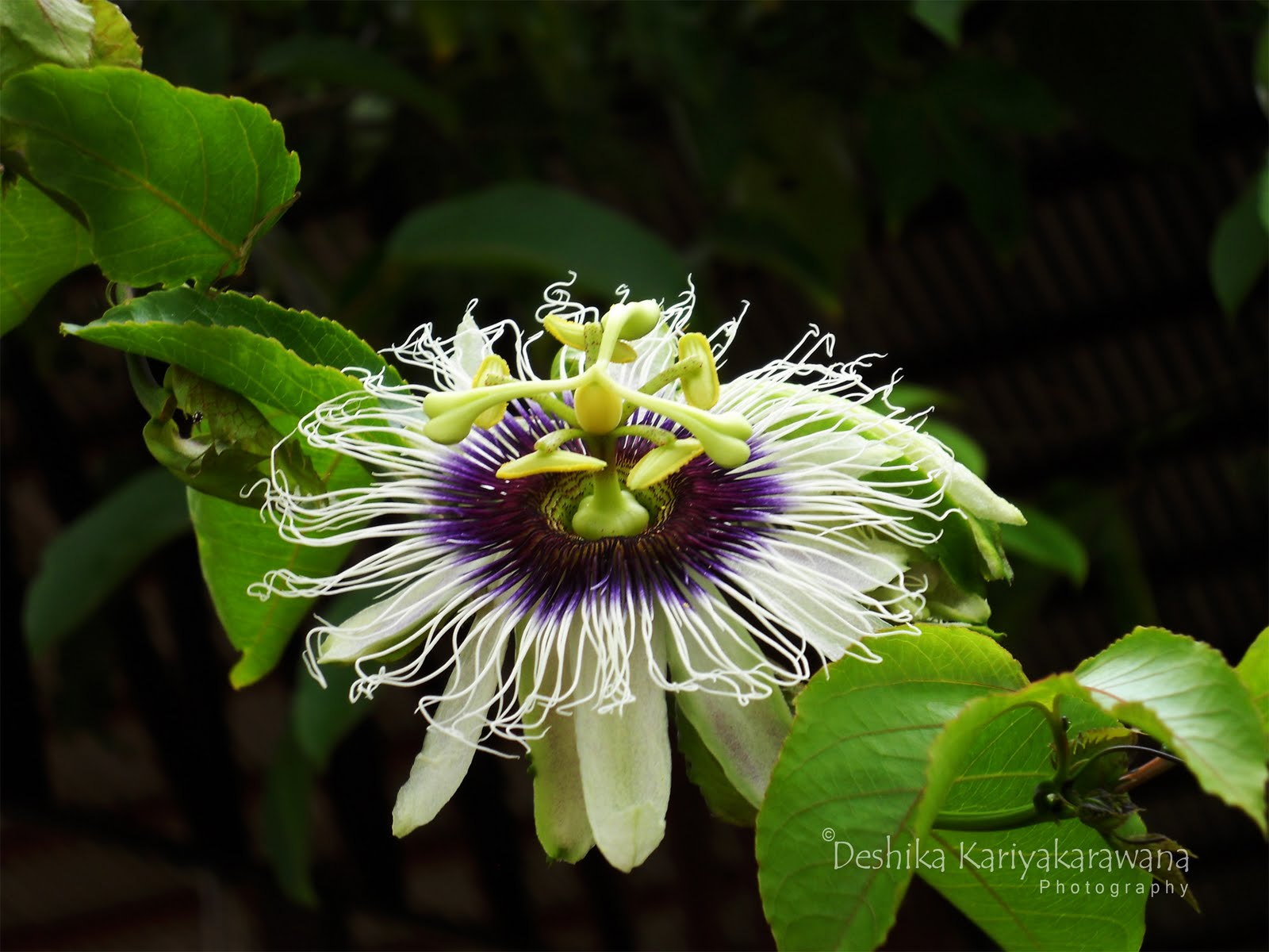 Art of a Third Eye Passion Fruit Flower