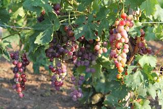 Modern, piacképes, ám ellenálló szőlőfajta: Teréz szőlő