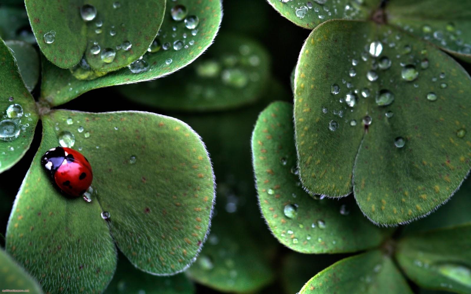 http://3.bp.blogspot.com/--Yx_hsfkirA/Tpxy8sJVS-I/AAAAAAAARbo/9ZGKDKinjIM/s1600/Ladybug-and-lucky-clovers-2560x1600.jpg
