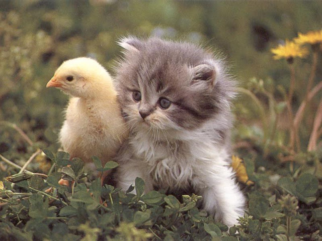 Cute Pussy Cat with Chicken kid 34