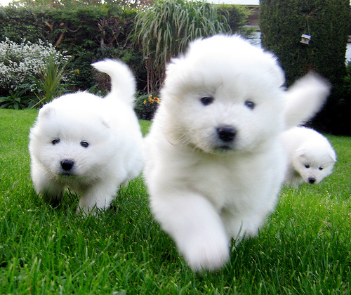 Samoyeds Dogs For Sale